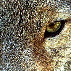 """фото """"Der Wolf"""""""