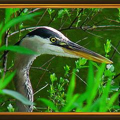 "фото ""Great Blue Heron"""