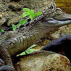 "photo ""The Dandy the crocodile!"""