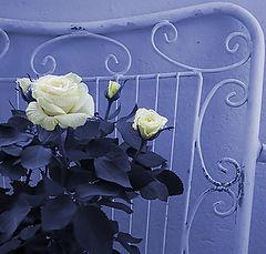 "photo ""White rose !"""