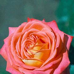 "фото ""Flower_04 (to Silvia Antunes)"""