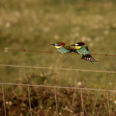 "photo ""Bee-eaters"""