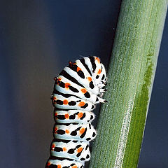"photo ""Papilio sp."""