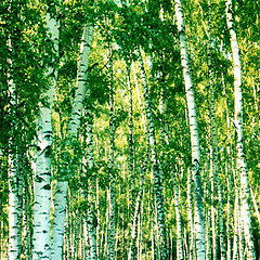 "photo ""Birch grove"""