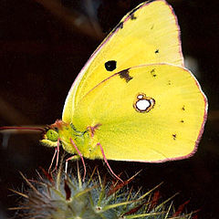 "фото ""Yellow butterfly"""