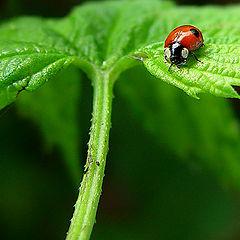 """фото """"Ladybug on leaves"""""""