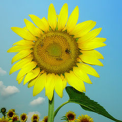 "фото ""A sunflower"""