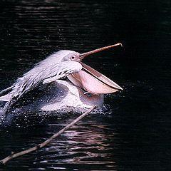 "photo ""Jet pelican"""