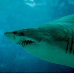 """фото """"Shark"""""""