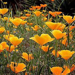 "photo ""Field of Yellow Flowers"""