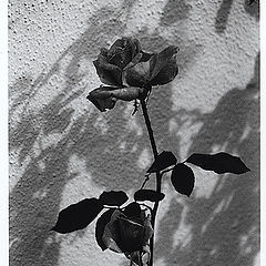 """фото """"Rose...  in black and white"""""""