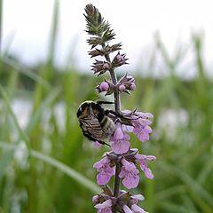 "photo ""Bumblebee on plant"""