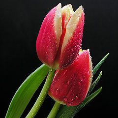 "фото ""Tulip Love"""