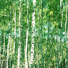 "photo ""Birch grove (2)"""
