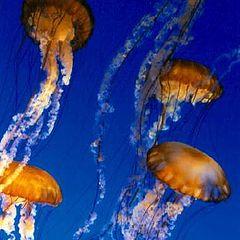 """photo """"Jellyfish"""""""