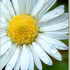 """фото """"Just a Tiny Daisy"""""""