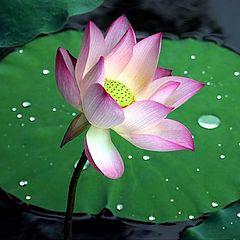 """фото """"Lotus"""""""