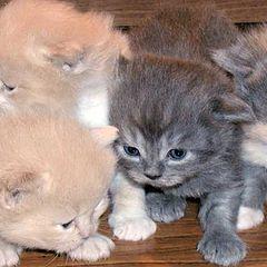 "photo ""Cats (Persians)"""