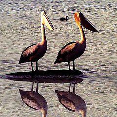 """фото """"Pelicans"""""""