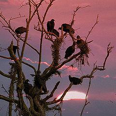 "фото ""Black vultures"""
