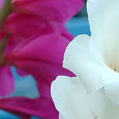 """фото """"Gladioli 2"""""""