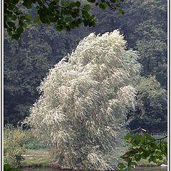 """фото """"Серебряное дерево"""""""