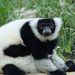 "photo ""Black and White Ruffed Lemur"""
