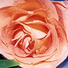 "фото ""tears from a rose"""