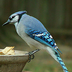 "photo ""Bluejay"""