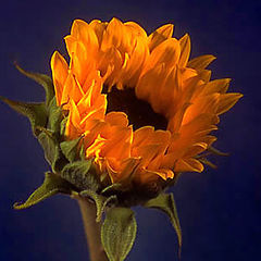 "фото ""Sunflower"""