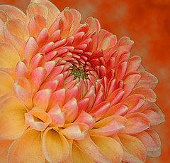 "фото ""Pink & Yellow Dahlia"""