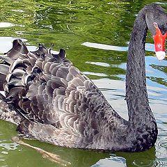 """фото """"Uncombed Swan ..."""""""