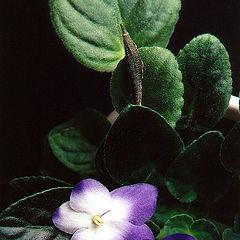 """фото """"violets #01"""""""