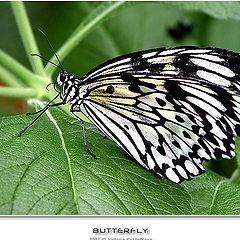 "photo ""Butterfly-2"""