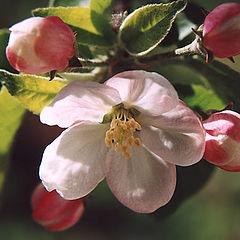"""фото """"Яблоневый цвет"""""""