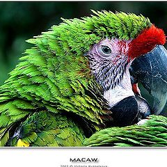 "photo ""Macaw II"""