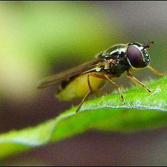 "фото ""Hoverfly"""