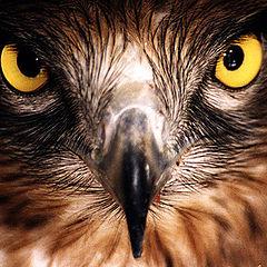 "фото ""Hawk"""