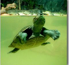 """фото """"little turtle"""""""