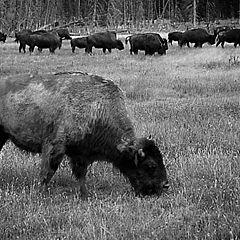 """фото """"Where the buffalos roam"""""""