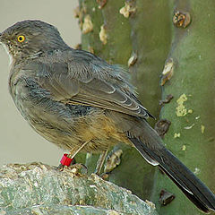 "photo ""Curved Bill Thrasher"""