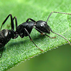 """photo """"Ant on a Leaf"""""""