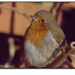 """фото """"My friendly Robin"""""""
