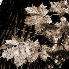 """фото """"Осенний клен"""""""