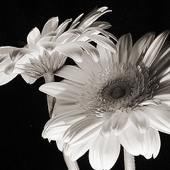 "photo ""Duet of Gerberas"""