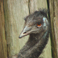 "фото ""Emu, a big bird from down under"""