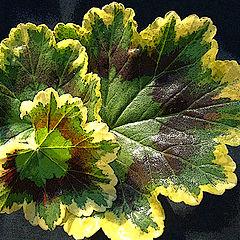 """фото """"Geranium  """" Dolly Varden"""""""""""