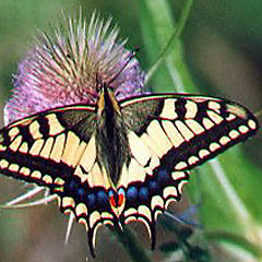 """фото """"Swallowtalebutterfly"""""""