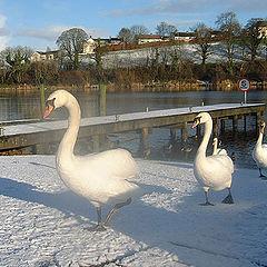 "фото ""Swans in Snow"""