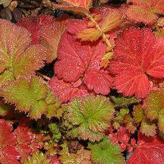 """фото """"Geum Leaves in November"""""""